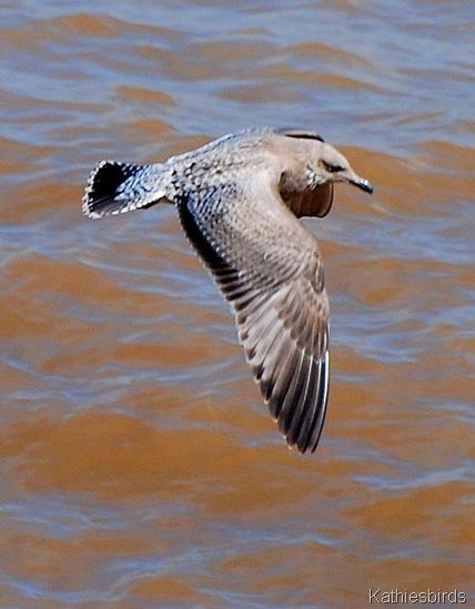 10. seagulls-kab