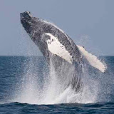 Breaching humpback whale