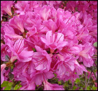 pink  azalea
