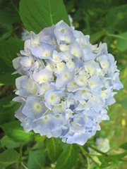 Hydrangea in bloom closeup6.2012