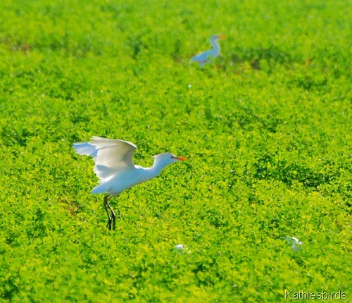 14. cattle egret-kab