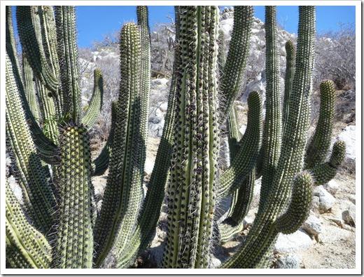 Los Frailes cactus