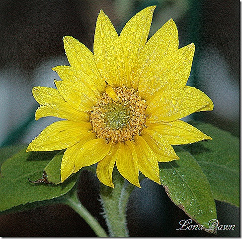 Fosrty_Sunflower