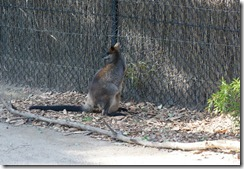 Wallaby, Taronga Zoo