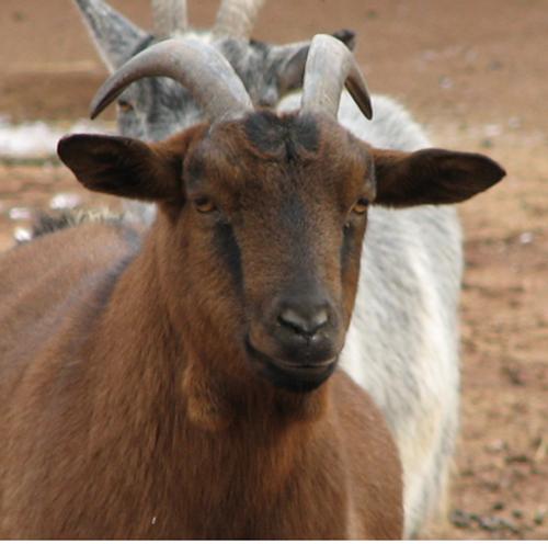Manfaat susu kambing ottawa