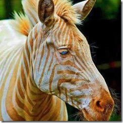 golden-zebra