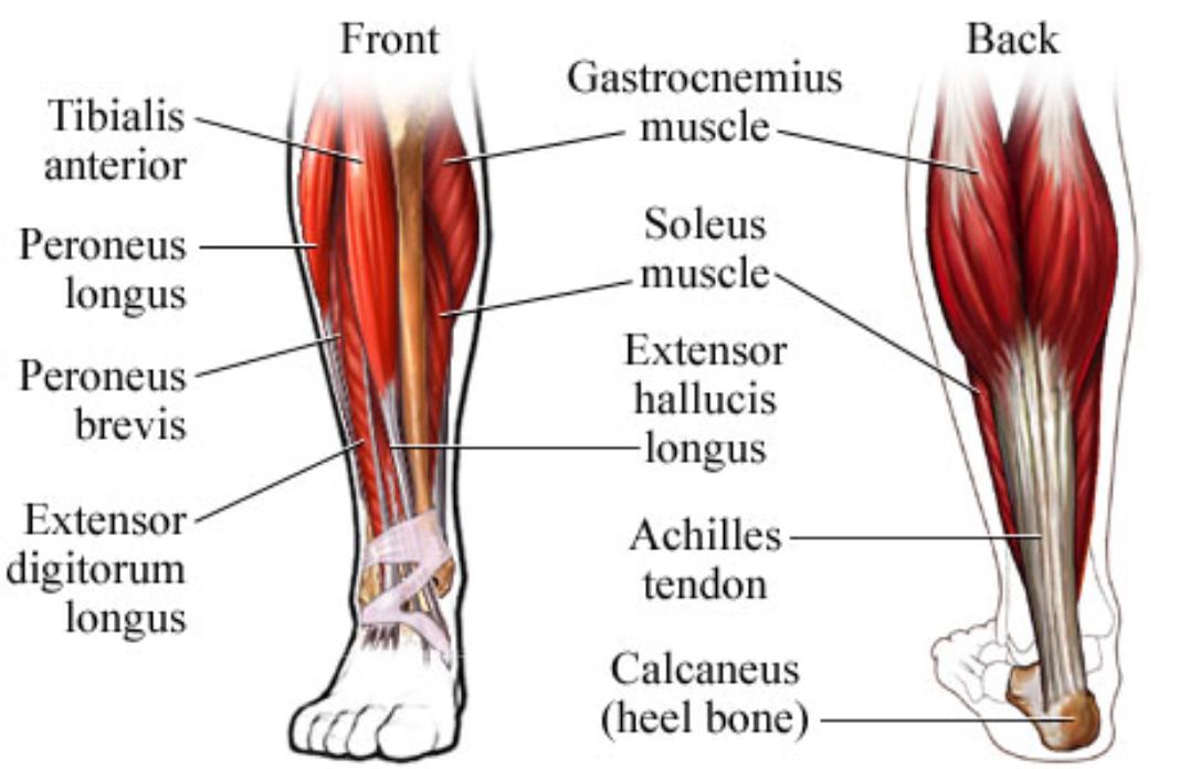 Diagram Of A Leg Cramp - House Wiring Diagram Symbols •