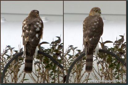 hawk back-front
