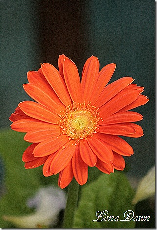 Gerbera_Orange_Aug