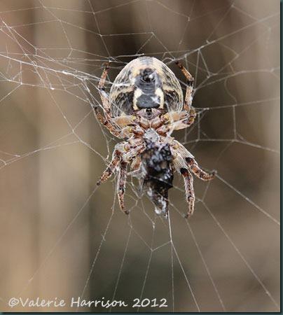 45-spider