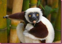 Madagascar Lemure 1