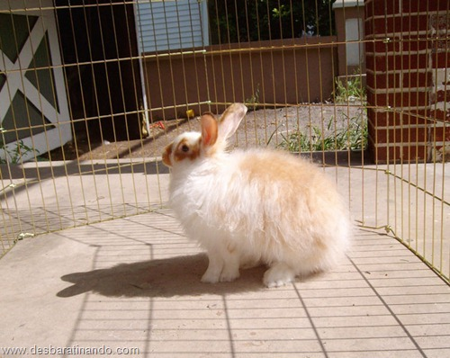 coelho angora peludo desbaratinando (15)