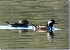 Female and male Hooded Merganser