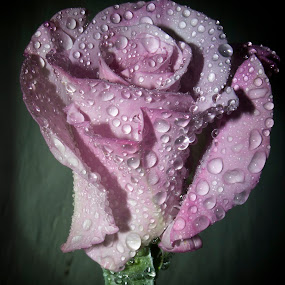 by Anand Kumar - Flowers Single Flower ( rose, petals, dew drops, flower, droplets )