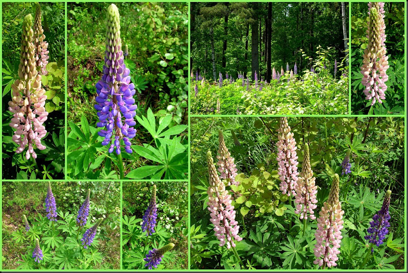 2010 06 Lupines collage