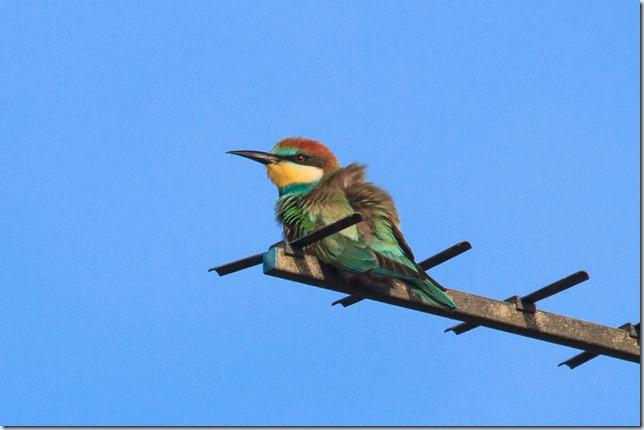Seaburn_Bee-eater-2