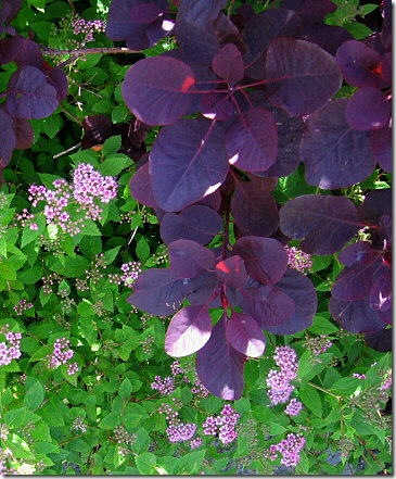 garden-spirea-and-smoke-tree