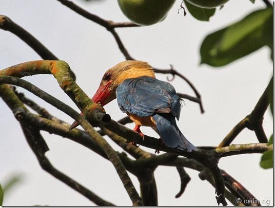 stork bill kingfisher