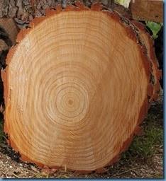 Pine tree rounds #1