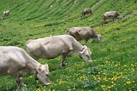 Skinny cows