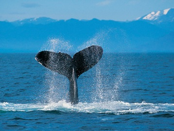 Uma baleia jubarte bate a cauda na superfície do mar.