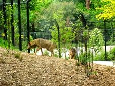 2014.04.21-031 loup ibérique