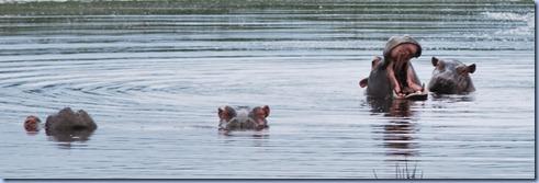 hippos (800x243)
