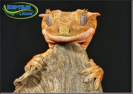 Amazing Animal Pictures crested geckos (12)