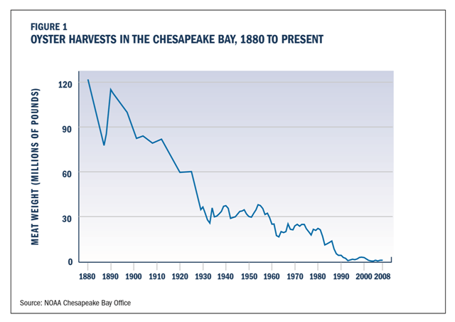 Oyster harvests in Chesapeake Bay, 1880-2008. Oyster harvests tumbled by two-thirds between the 1890s and 1930, but then remained relatively stable at a lower level until the 1950s. Then a pair of diseases hit. MSX and Dermo are both caused by parasites that attack and frequently kill oysters, although they are harmless to people. Compounded by continued overharvesting and pollution, these diseases devastated oyster populations in the Chesapeake. Graphic: Chesapeake Bay Foundation