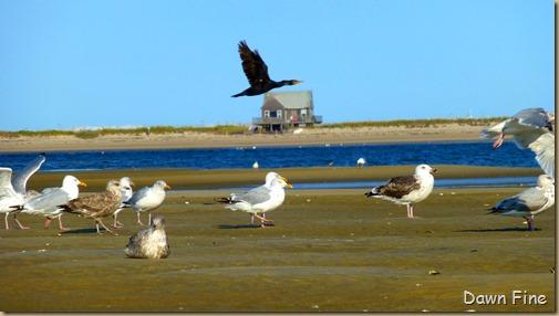 tern island birding_058