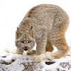 Canadian Lynx, British Columbia, Canada.jpg