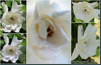 gardenia bloom0610