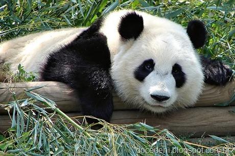 panda[2]
