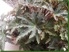 Begonia Estrela1