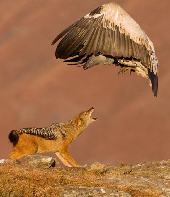 vulture-jackal_1858443i