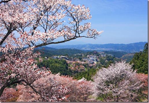 Cherry Blossoms, Mt. Yoshino, Japan