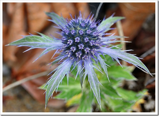 120220_Eryngium-planum_01