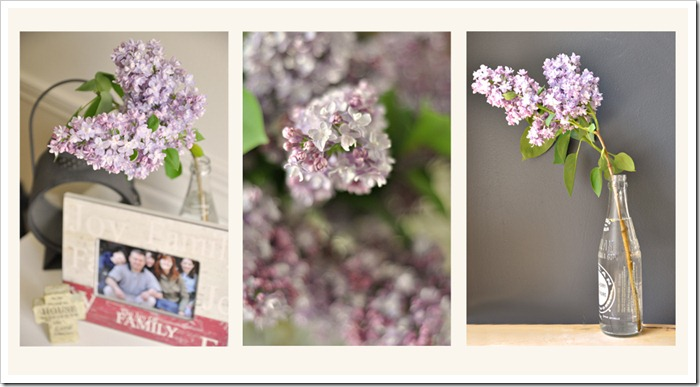 lilac tryptic