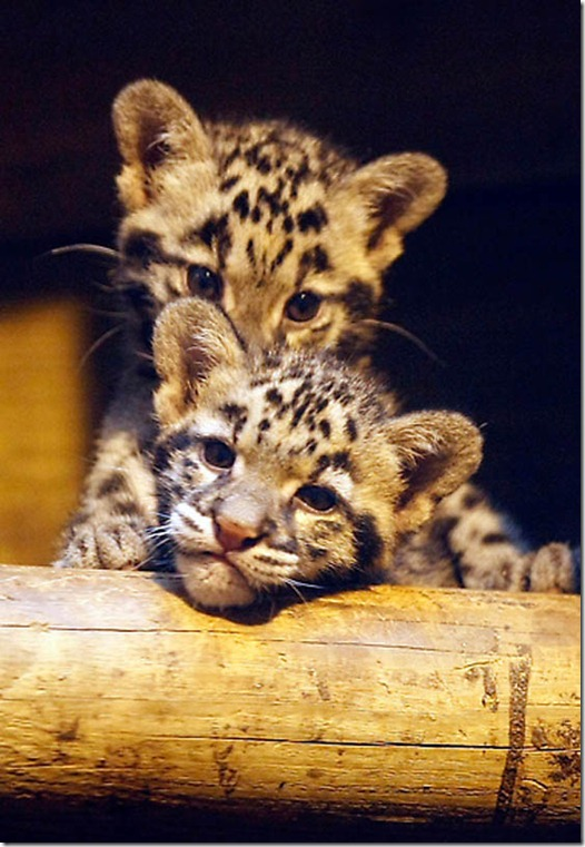 France Baby Leopards