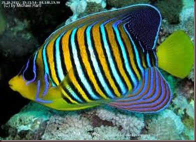 Amazing Pictures of Animals, photo Nature, exotic, funny, incredibel Zoo, Regal angelfish, Alex (1)