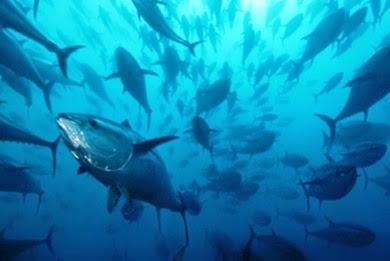 Απαγορεύεται η αλιεία του τόνου