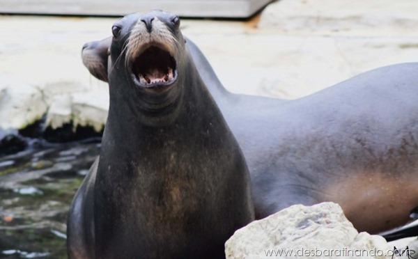 animais-bocejando-bocejar-desbaratinando (1)