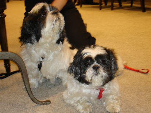 Princess and Kiki were rescued from a neglectful home and provide an example of a bonded pair that needs a home together. These 2 Shih Tzus are at strayfromtheheart.org. Such sweeties!