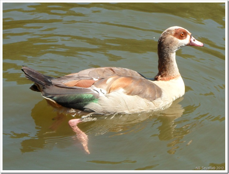 SAM_1815 Egyptian Goose