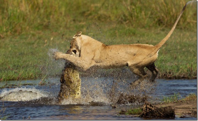 lion-attacks-crocodile