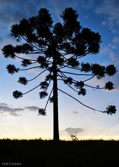 araucária gigante maior árvore