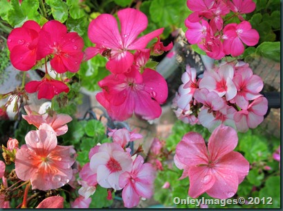 geraniums collage1