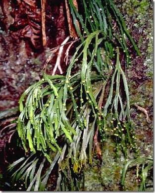 Psilotum flaccidum