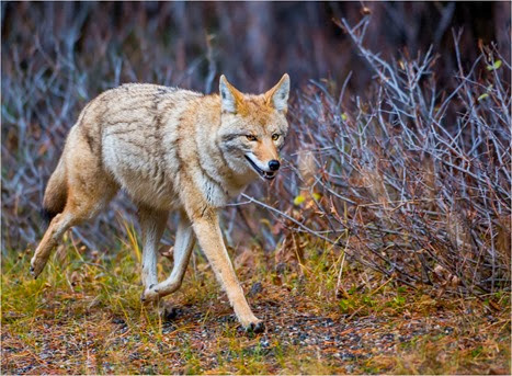 Amazing Pictures of Animals, Photo, Nature, Incredibel, Funny, Zoo, Coyote, Canis latrans, Alex (16)