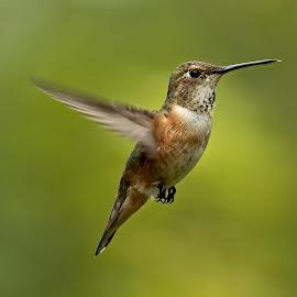 Rufus Hummingbird by Sheldon Bilsker - Animals Birds ( bird, nature, hummingbird, animal )